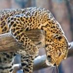 Leopard portrait — Stock Photo