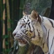 White tiger in zoo,  Thailand — Stock Photo
