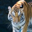 Portrait of Amur Tigers — Stock Photo