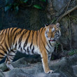 Portrait of Amur Tigers — Stockfoto