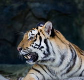 Red adult tiger has a rest in a zoo. — Stock Photo