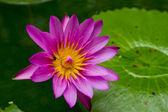 Blossom lotus flower — Stock Photo