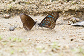 Butterfly (Chain Swordtail) , Thailand — Stock Photo
