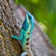 Blue iguana on tree branch — Stock Photo