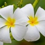 Frangipani, Plumeria, Templetree,Thai flower — Stock Photo #36606893