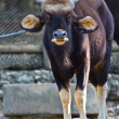 Photo of Gaur  bull — Stock Photo