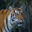 Stock Photo: Portrait of Amur Tigers