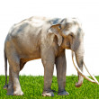 Asia elephant southeast Asia Thailand — Stock Photo