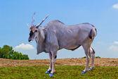 Eland antelope standing — Stock Photo
