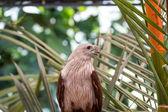 赤いタカ、動物園、タイで. — ストック写真