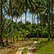 Road to coconut field — Stock Photo