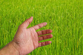 Hand touching green paddy leaf. — Stock Photo
