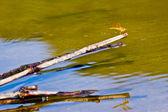 Aquatic Plants and Dragonfly — Foto de Stock