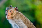 Crab-eating macaque Monkey — Stock Photo
