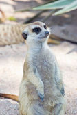 Portrait Of Meerkat On White Background — Stock Photo