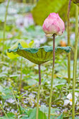 Lotus bud beautiful Thai flower — Stock Photo
