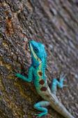 Blue iguana on tree branch — Stock Photo