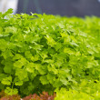 Stock Photo: Hydroponic vegetable in farm