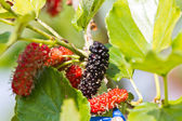 Berry fruit in nature, mulberry twig — Stock Photo