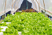Hydroponic vegetable in farm — Stock Photo
