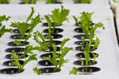 Hydroponické zelenina ve farmě — Stock fotografie
