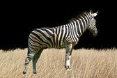 孤立在白色背景上的斑马 — 图库照片