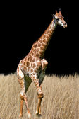 Giraffe is isolated on white background — Stock Photo