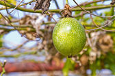 Close up of passion fruit on the vine, selective focus. — Stock Photo