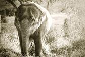 éléphant d'asie — Photo