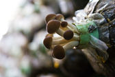 Yanagi Mutsutake Mushrooms Growing In the Farm — Стоковое фото