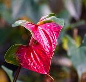 Red heart,anthurium flower — Stock Photo