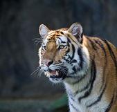 Portrait of Amur Tigers — Stock Photo