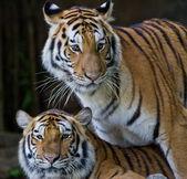 Retrato de los tigres amur — Foto de Stock