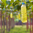 Insect trap in Green grapes on vine — Stock Photo #43543785