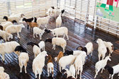 Sheep herd standing on farmland — Stock Photo