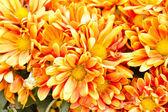 Turuncu kasımpatı çiçekleri arka plan — Stok fotoğraf