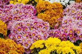Orange chrysanthemum flowers background — Stock Photo