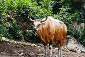 Gaur in kao kheow open zoo Chonburi,Thailand. — Stock Photo