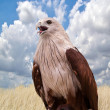 Red Hawk in the zoo,Thailand. — Stock Photo