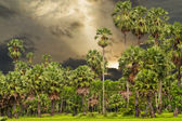 Sugar palm trees surrounded with rice field — Stock fotografie