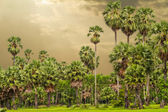 Sugar palm trees surrounded with rice field — Foto Stock