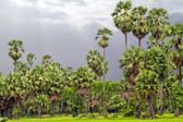 Sugar palm trees surrounded with rice field — ストック写真