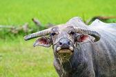 Buffalo. Buffalo calf in field, Thailand. — Stock Photo