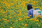 Pesticides in the garden marigold. — Stock Photo