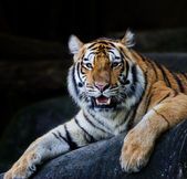 Red adult tiger has a rest in a zoo. — Stok fotoğraf