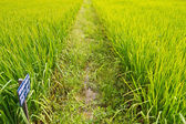 Experimental rice farm ( transgenic test) — Stock Photo