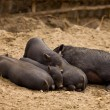 Stock Photo: Family of pigs