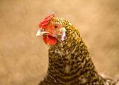Ritratto di pollo — Foto Stock