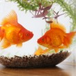 Goldfish — Stock Photo #13381796