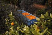 Bins of fresh oranges — Stock Photo
